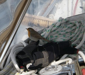 A cheerful start - a Robin spends time with us off Beachy Head